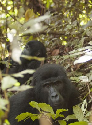 mountain gorilla - virunga national park, uganda 2006